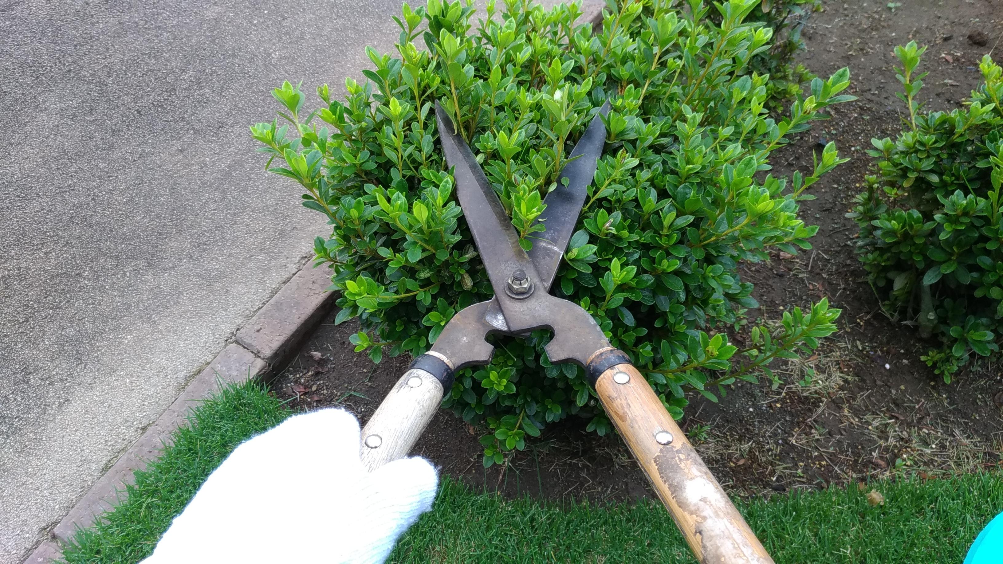 剪定バサミの刃研ぎ&ツツジの剪定😄