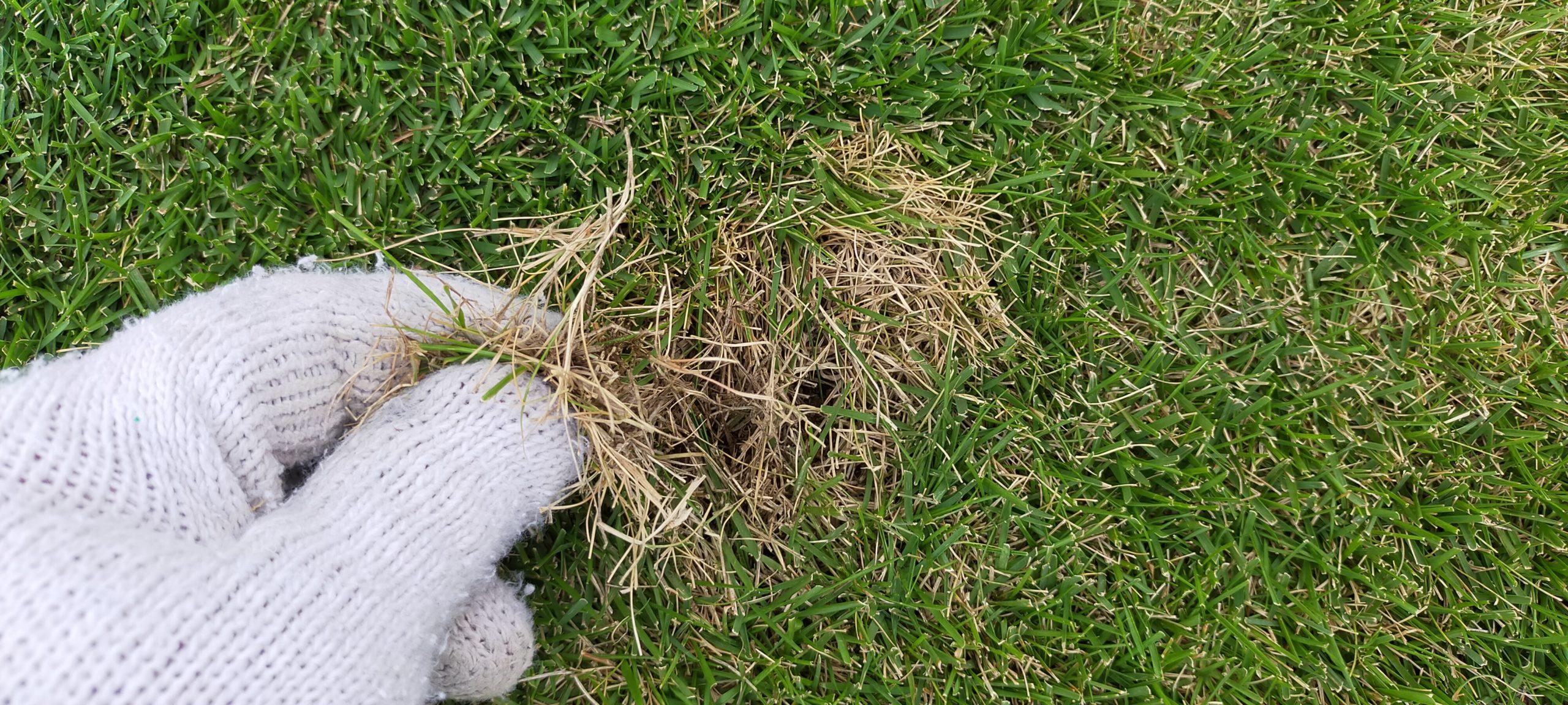 芝生の害虫コガネムシ駆除😃✨