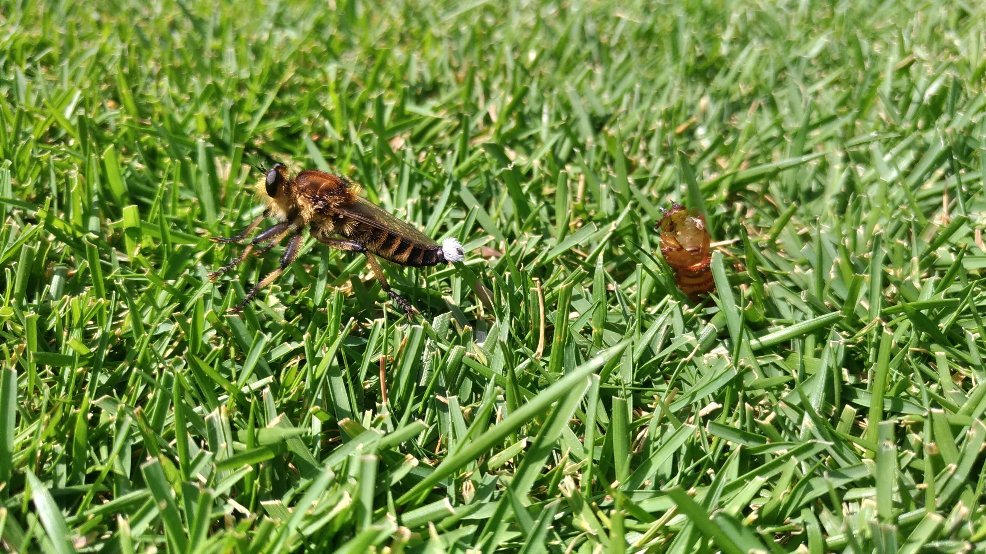 芝生の益虫シオヤアブの生態😃✨