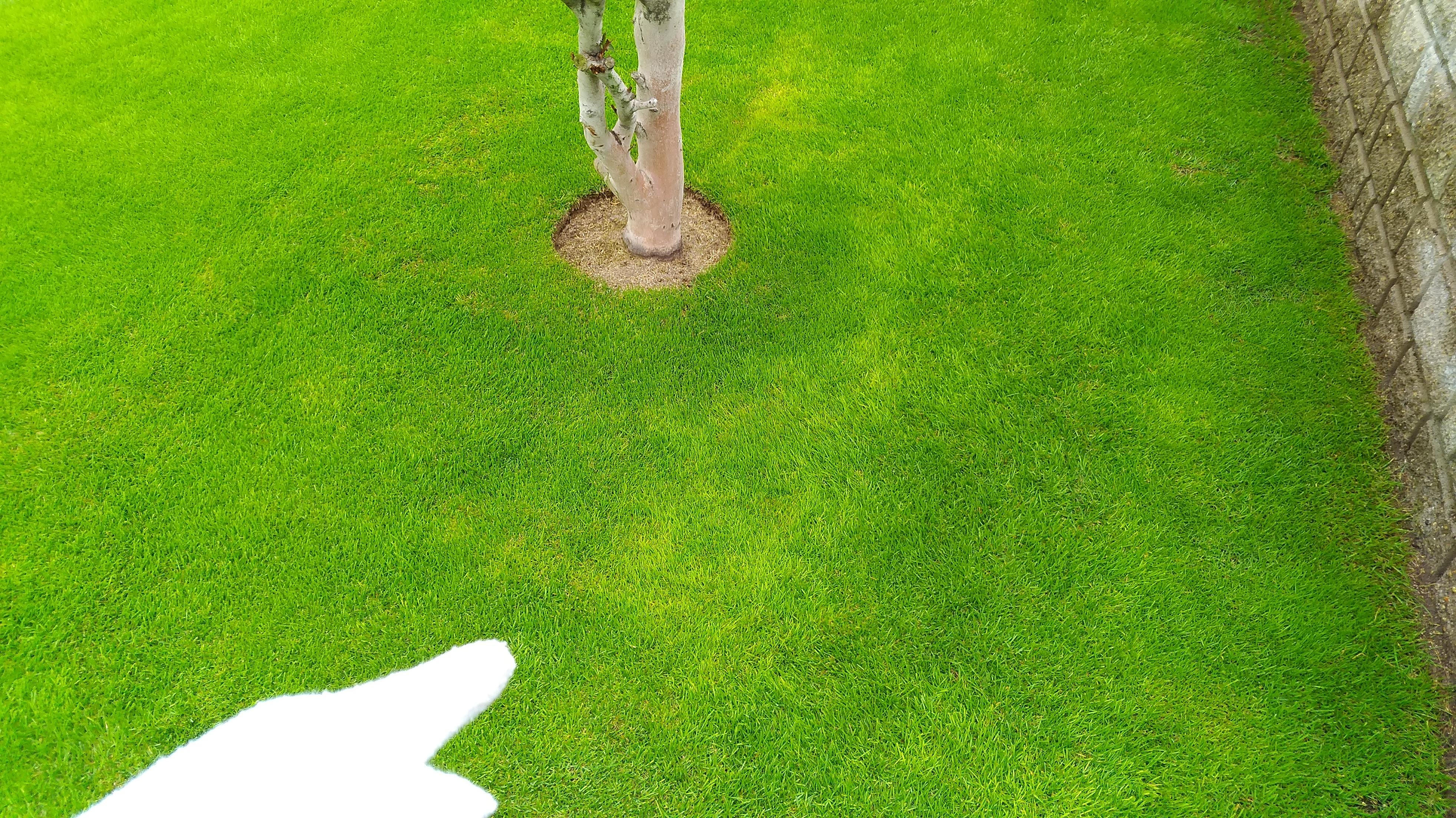 芝生の黄化する原因を分かりやすく解説😃✨