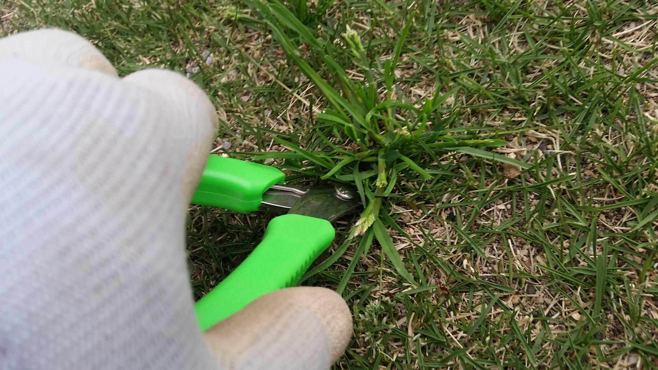 芝生の雑草スズメノカタビラを駆除しよう😃✨
