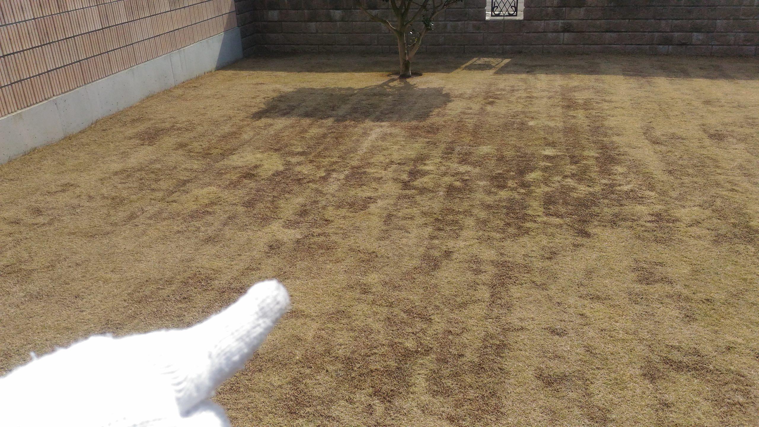 芝生の黒いところの原因と対策【低刈り】😃✨