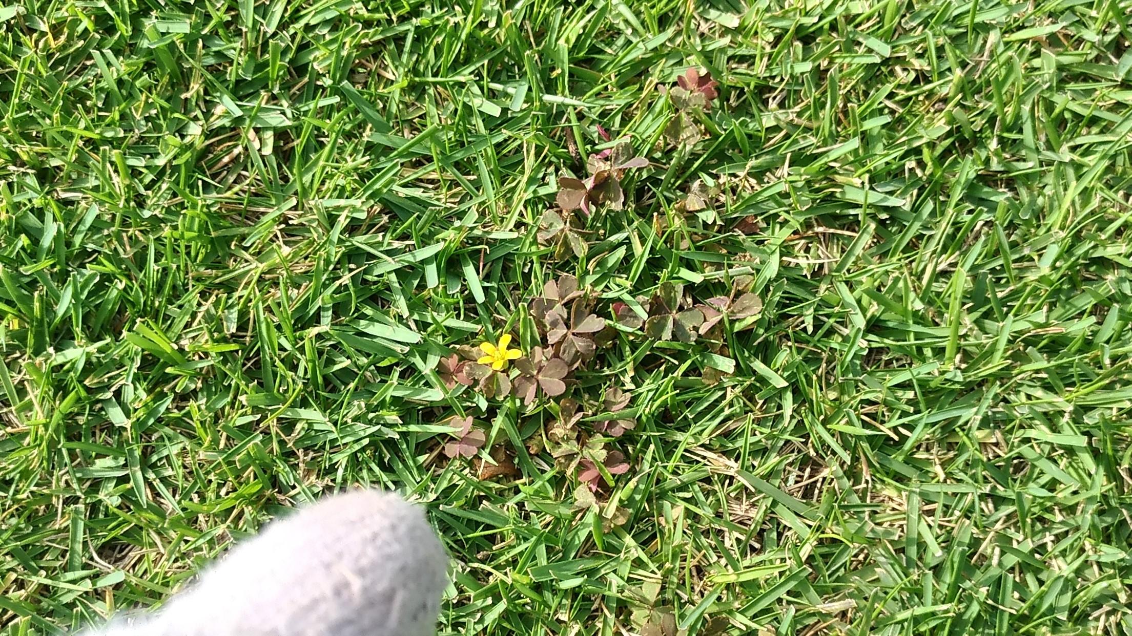 芝生の雑草カタバミを駆除する方法😃✨