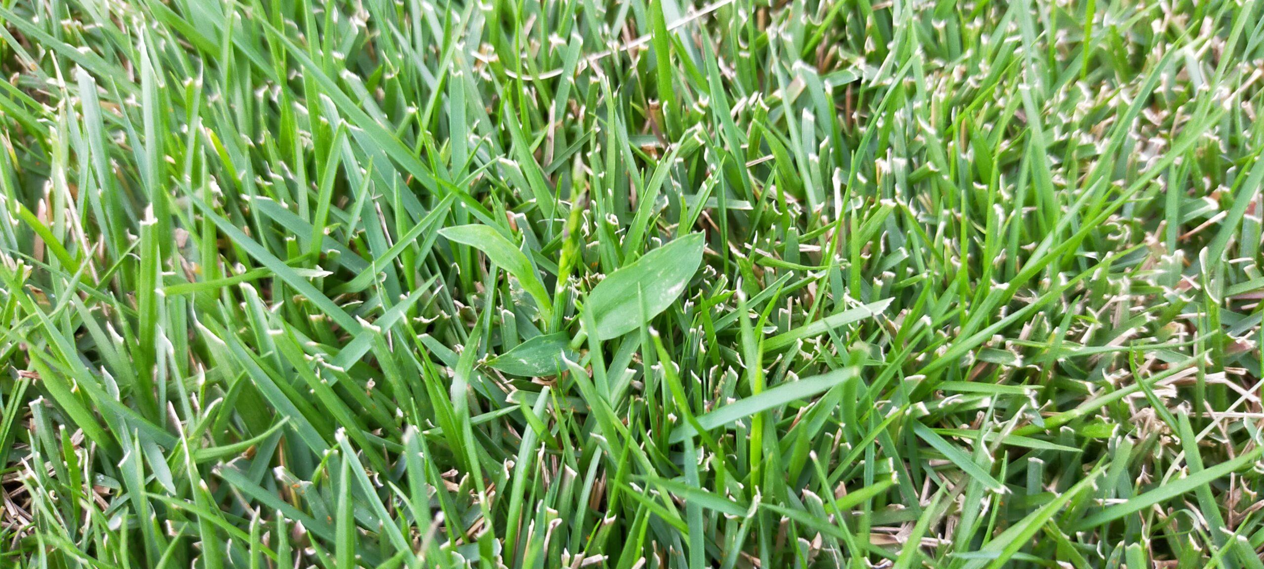 秋は芝生に越年生雑草が生える時期😄✨【stand.fm】